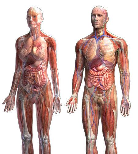 Anatomy for human body